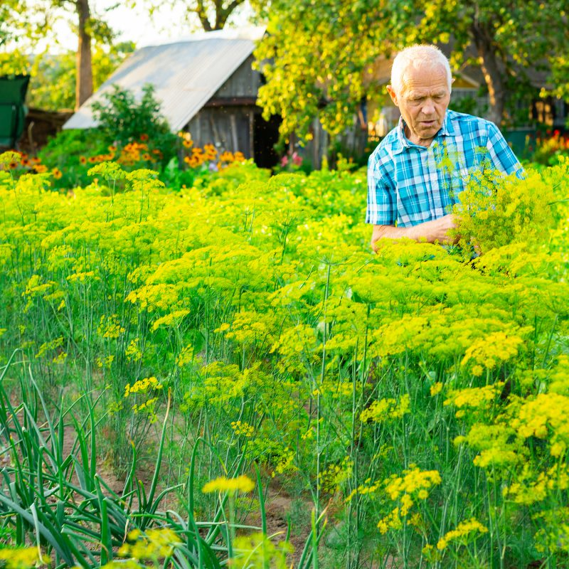 Mature,Male,Farmer,Collects,Dill,In,The,Vegetable,Garden,In